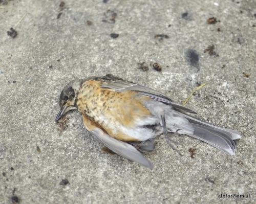 Decay dead Robin_DSC0119